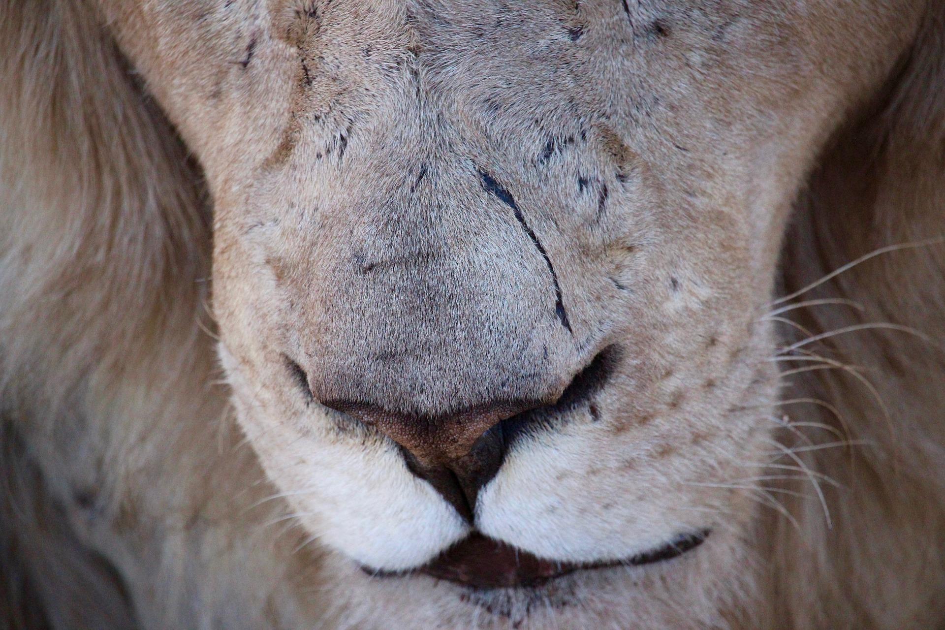 lion-3474796_1920